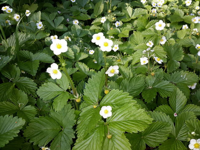 Wild Strawberry Plants - Fragaria vesca Fragaria Vesca Backgrounds Beauty In Nature Botany Close-up Flower Flower Head Flowerbed Flowering Plant Fragility Freshness Full Frame Green Color Growth High Angle View Leaf Nature No People Outdoors Petal Plant Plant Part Vulnerability  Wild Strawberry Flowers Wild Strawberry Plants