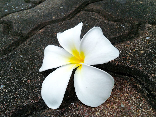Plumeria flower fall down on the rock floor, plumeria flower pure white. Flower White Color Fragility Frangipani Flower Head Close-up Petal No People Beauty In Nature Freshness Day Nature Outdoors Plumeria Plumeria Flowers Frangipani Flower White Flower On The Rocks Ground Fall Down