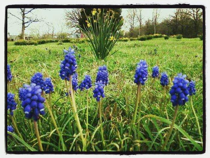 Color Spring Flowers Texas Bluebonnet State Flower