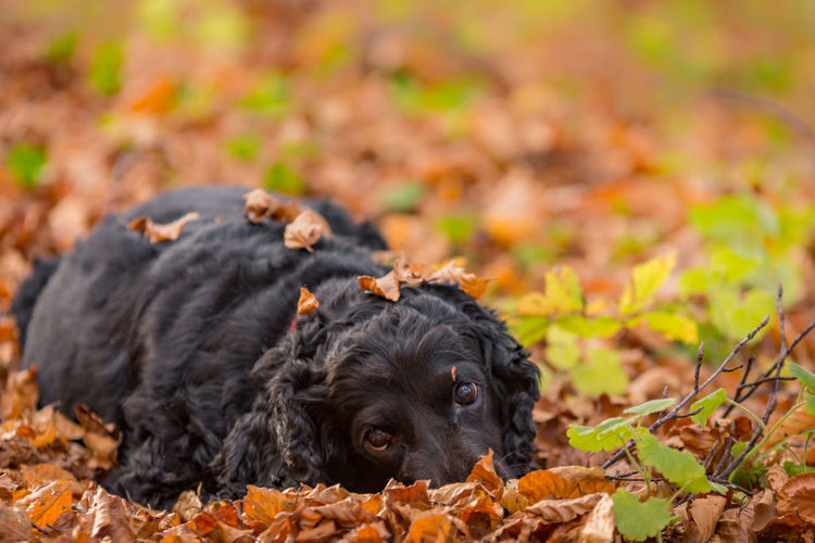 Black dog relaxing on field