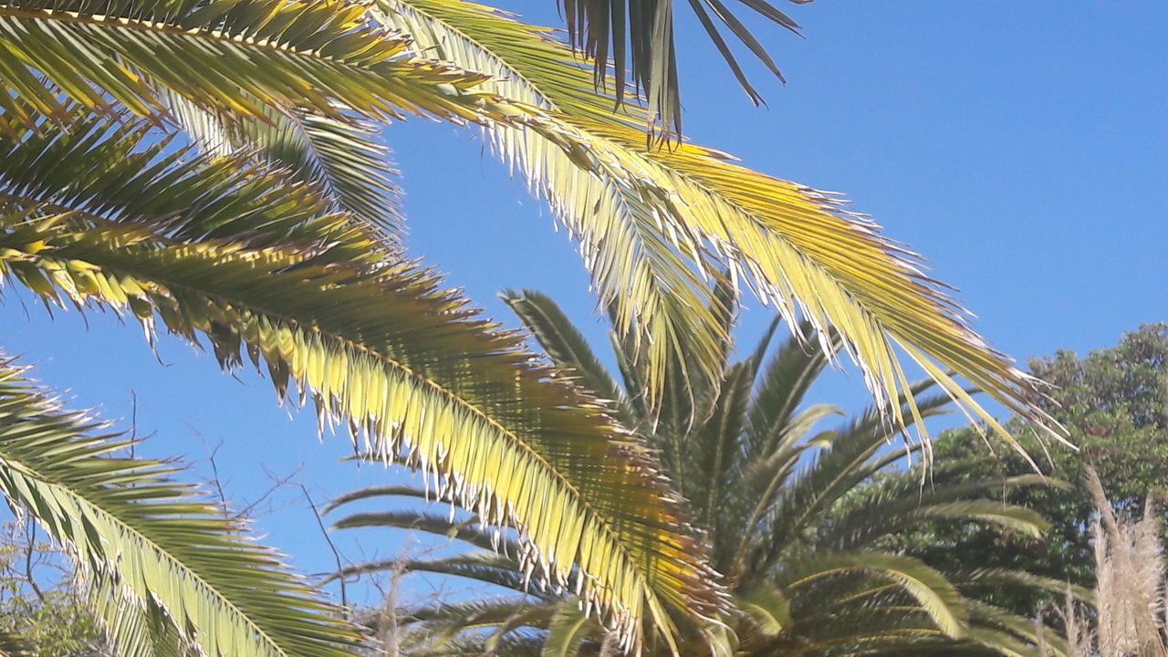 palm tree, low angle view, tree, growth, palm frond, day, leaf, outdoors, clear sky, plant, blue, nature, no people, green color, sky, beauty in nature, close-up