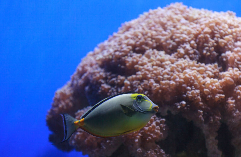 Naso tang fish, Naso lituratus, is found in the Indian and Pacific Ocean Fish Indian Ocean Lipstick Tang Marine Naso Naso Lituratus Ocean Reef Reeftank Saltwater Sea Tang Tropical Underwater Unicorn Tang