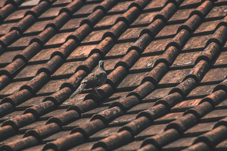 Bird on the roof Dove Dove - Bird EyeEmNewHere Doves, Birds Bird Animalphotography Bali Bali, Indonesia Backgrounds Tiled Roof  Roof Full Frame Pattern Close-up Roof Tile Rooftop Housing Settlement Country House Order Many Block Group In A Row Display Arrangement Repetition
