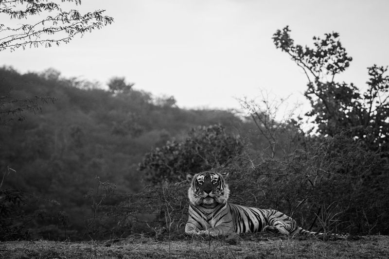 Portrait of tiger sitting on grassy field against clear sky in forest