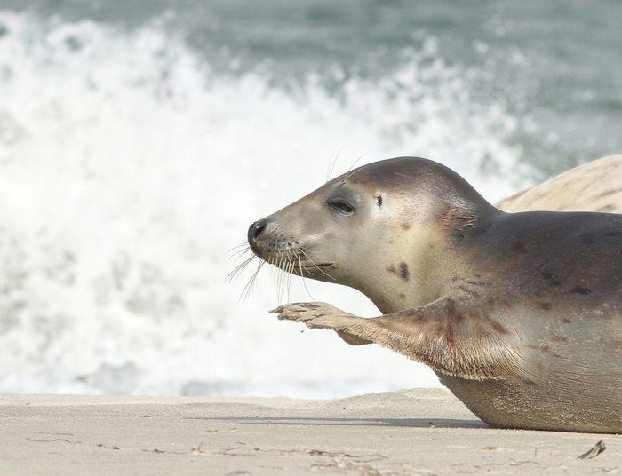 Close-up of young seal on beach at north sea