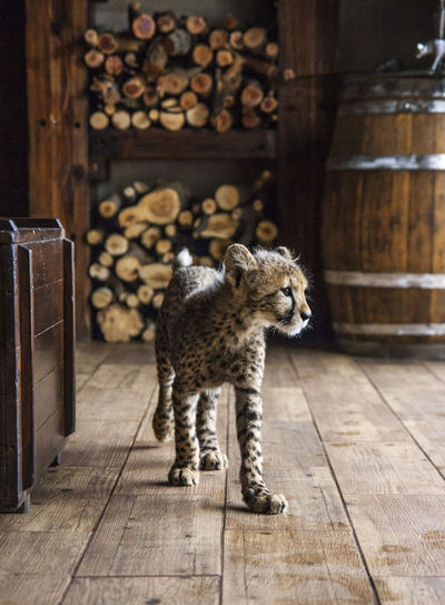Cheetah cub walking on floorboard