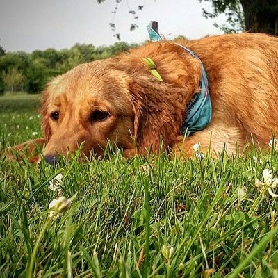 After the rain the other day chase laid down and enjoyed the cool grass!! Chase Chasethegolden AdoptDontShop Rescuedogsofinstagram Luckyyouanimalrescue Rain Grass Wetfur Wetgrass Happypuppy Happydog Pennsylvania Doggiesforanthony Mydogisbetterthanyours Goldenretriever Goldensofinstagram