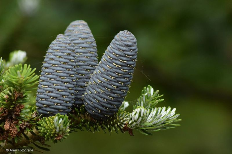 Abies koreana Beauty In Nature Close-up Green Color Nature Plant Tree