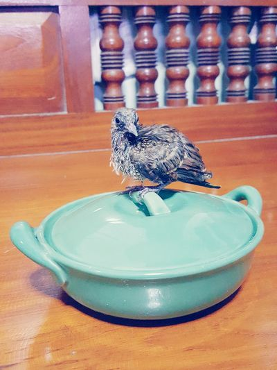 Little Peaceful dove on her food pot Bird Dove Dove In The City Zebra Dove Javanese Dove Perkutut Geopelia Striata Pet Portraits Pet
