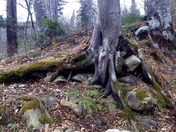 Карпаты Karpaty Tree Trees Carpathians Carpathian Mountains