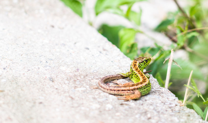 Lizard Lizard Watching Close-up Day Green Color Nature No People Outdoors Selective Focus