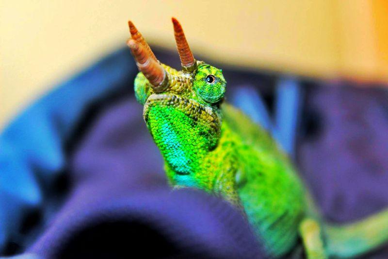 Jacksons Chameleon Chameleon Vibrant Color Flare
