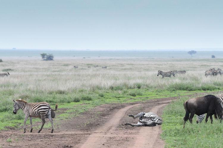 Zebras on land against sky