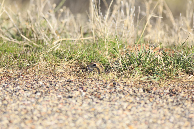 ground squirrel peeking Annimal Hiding In Plain Sight Wildlife Squirrel Ground Squirrel Mammal Utah Field Close-up Animal Themes Grass Rodent