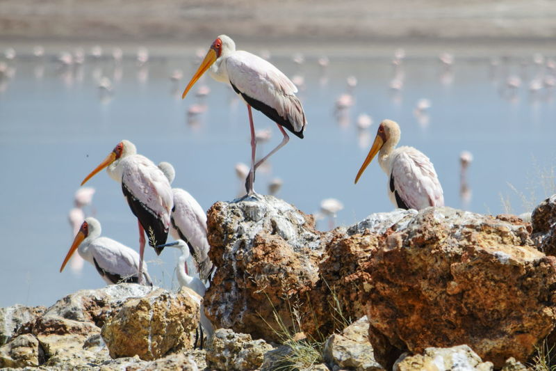 A flock of yellow-billed storks perching on rock by sea, lake magadi, kenya