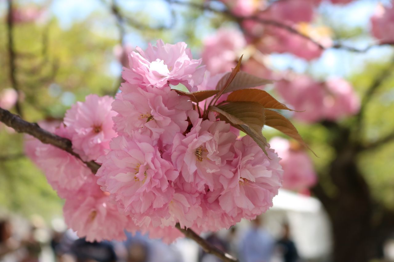 flower, flowering plant, pink color, fragility, freshness, beauty in nature, vulnerability, plant, growth, petal, close-up, flower head, focus on foreground, day, nature, inflorescence, blossom, invertebrate, springtime, no people, outdoors, cherry blossom, pollination, cherry tree, butterfly - insect
