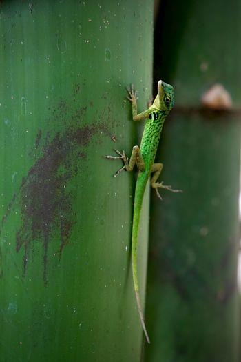 zandoli Animals Green Green Color Lizard Martinique Reptile Tropical Tropical Climate Wildlife