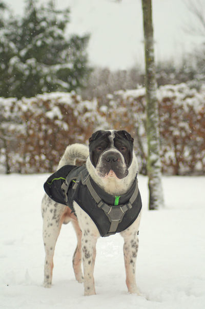 One Animal Winter Dog Outdoors Snowing Snow Schnee Pets No People Animal Themes Animal Cold Temperature Hundefotografie Dog Photography Hunde Shar Pei Cold Cold Days Kalt