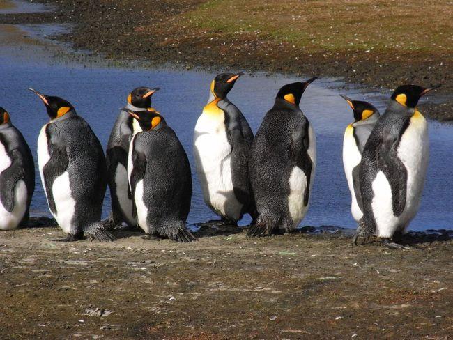 King Penguins - Falklands Falkland Islands King Penguins
