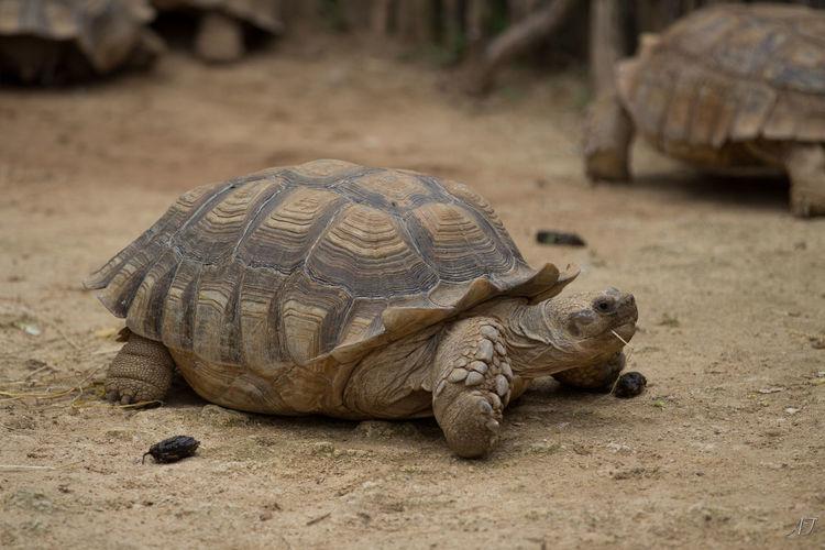 Close-Up Of Tortoises On Field