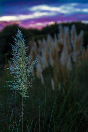 Close-up of flower growing in field against sky at night