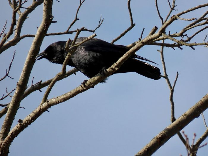 Bird in a tree crow black feathers bare branches clear blue sky birds of EyeEm beauty in nature outdoors low angle view Animal Themes Tree One Animal No People
