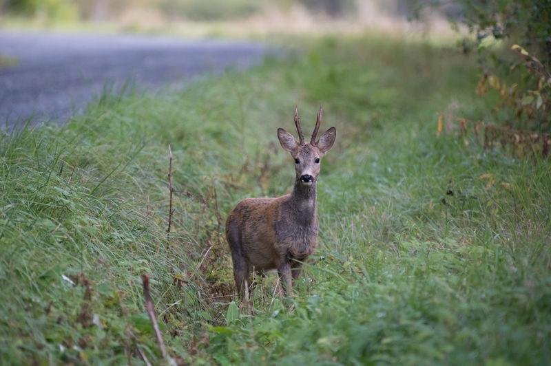 Portrait of deer standing on field