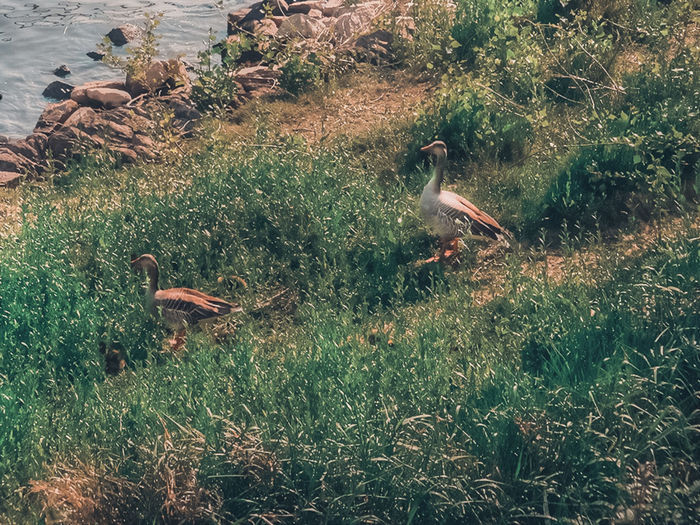 2 Ducks Backgrounds Beauty Beauty In Nature Birds Ducks Grass Nature Water