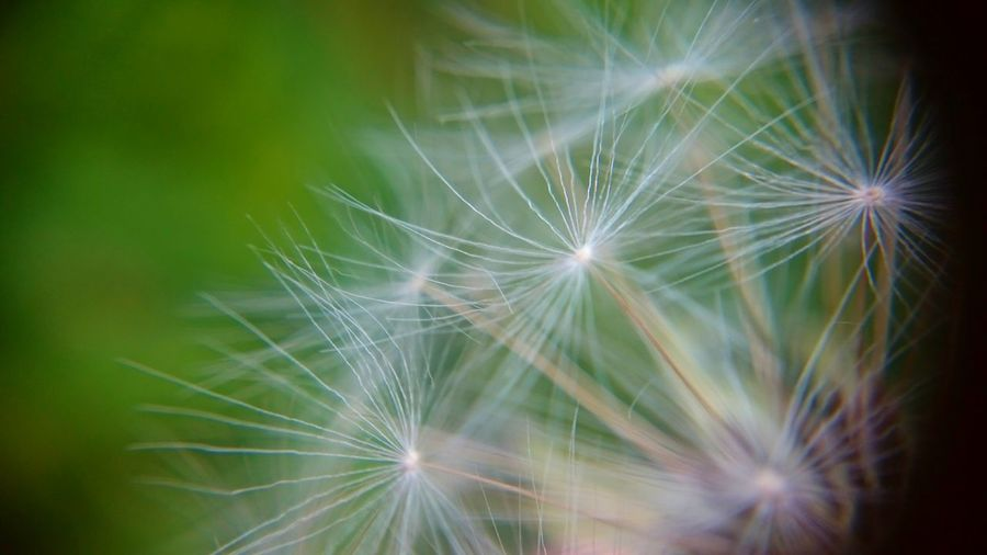 Dandelion Fragility Dandelion Seed Nature Freshness Softness Close-up Flower Backgrounds No People Growth Beauty In Nature Outdoors Day Black Background