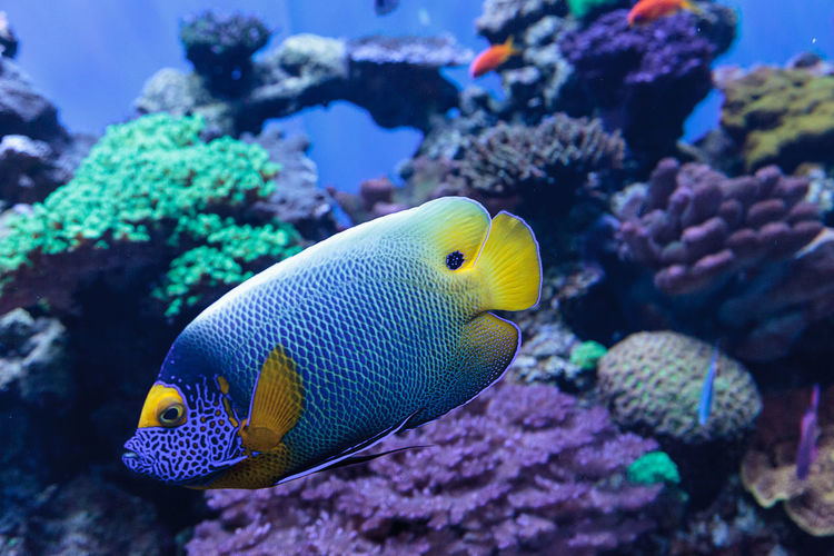 Close-up of blueface angelfish swimming in sea