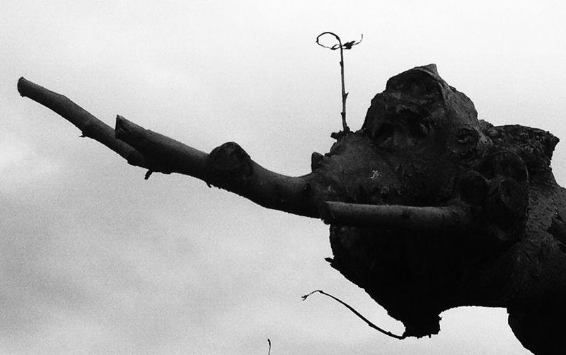 L'elephant TreePorn Blackandwhite