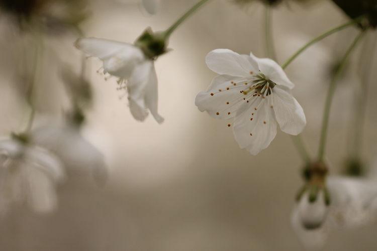 i fiori bianchi