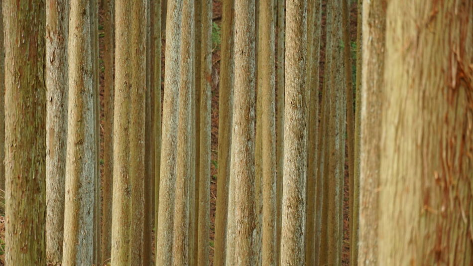 Logging Nature Tree Trunks Trees Wood Backgrounds Brown Color Close And Far Dimension Forest In A Row Large Group Of Objects Light And Shadow Pattern Plantation Planted Row Of Trees Shades Of Brown Wood - Material Wood Background Woodland Walk