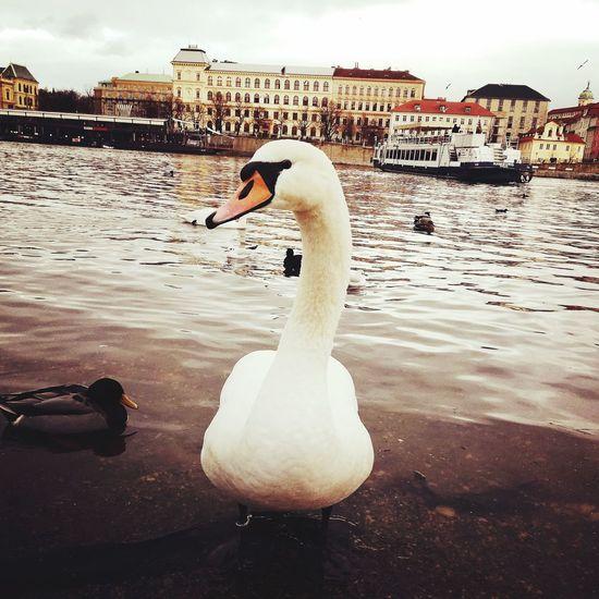 Swan Cigno Praga Oldcity Old Oldtown Praga♥ City Europe Europa Swan Bird Water Swimming Lake Sky Water Bird Duck White Swan