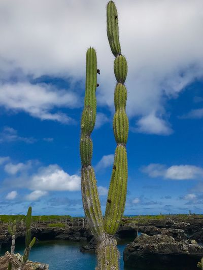 Cactus Cactus Tree Cactus Flower Landscape Lake Tall Clouds And Sky Treescape Lake Water Growth Nature Cactus No People Sky Plant Beauty In Nature Saguaro Cactus Day Outdoors Cloud - Sky Green Color Tranquility Scenics Lava Rocks