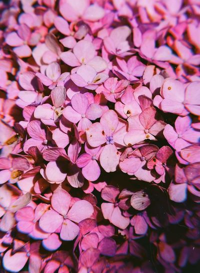 Flower Pink Color Beauty In Nature Flowering Plant Freshness Petal Plant Springtime No People Abundance Day Vulnerability  Growth Nature Full Frame Flower Head Inflorescence Fragility Close-up High Angle View