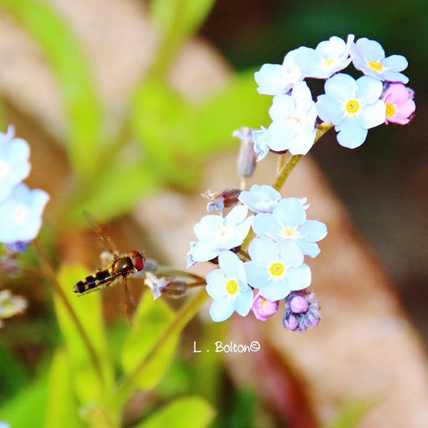 Nature Flower Insect Beauty In Nature Fragility Focus On Foreground Freshness Growth Day No People Petal Close-up Outdoors Hoverfly Forget Me Nots Blue Flowers Flowers, Nature And Beauty Flowers,Plants & Garden Bee Flower Head Pollination Buzzing