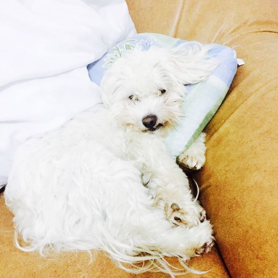 Toby  Mysweet Mydog Mybaby Maltese Dog Goodnight With Love Love Mybestfriend