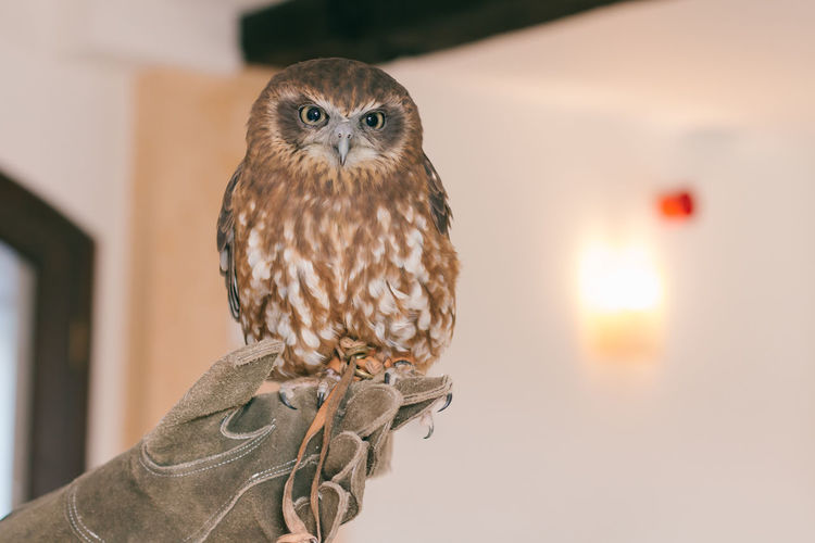 Close-Up Portrait Of Owl Perching Indoors