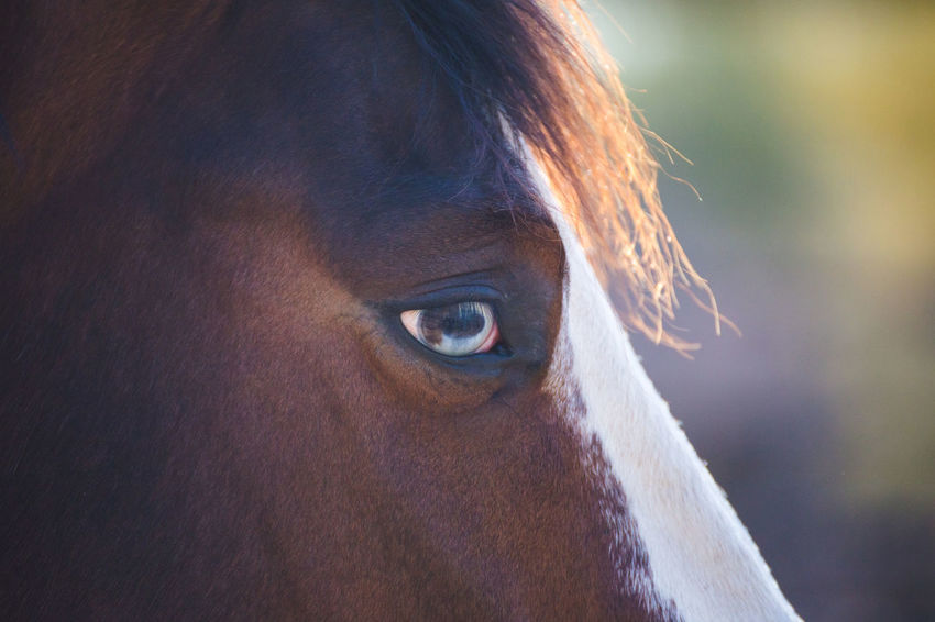 Close up of brown and white horse with bright blue eyes. Animal Themes Close-up Domestic Animal One Animal Domestic Animals Mammal Pets Eye Animal Body Part Vertebrate Horse Animal Eye Animal Wildlife Livestock Focus On Foreground Animal Head  Portrait Brown Day Herbivorous Human Hair Horses Horseback Riding Horse Riding