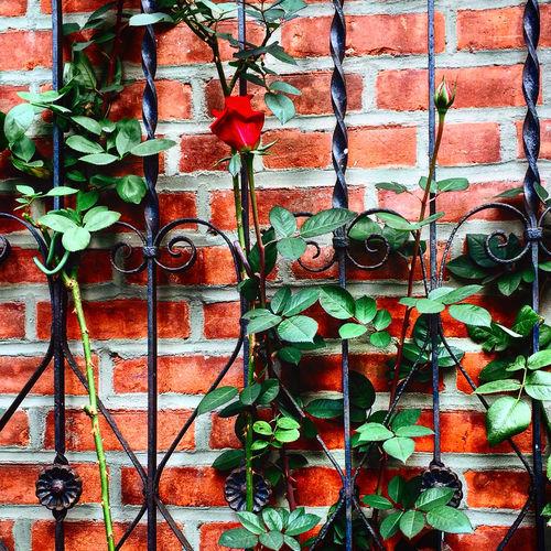 Rose Arrangement Bricks Fence Geometry Hearts And Flowers Leaves Roses Urban Urban Geometry Variation