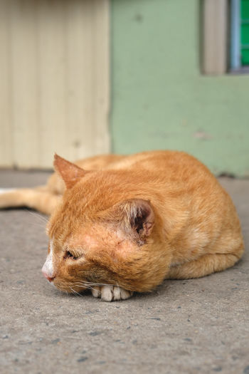 Portrait of a cat resting on footpath