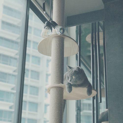 Pet Portraits Pondering City Life British Shorthair Domestic Cat Pets Indoors  Feline Window Dazed Cattree Cat Cat Lovers Cats Of EyeEm Misterindigo Singapore Pet Portraits