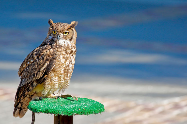 Close up of an owl on bird perch