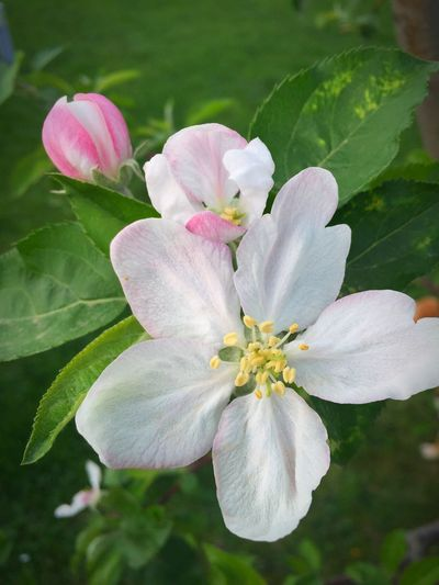 Lovely apple flower Showcase April Spring Green Springtime Nature Spring Flowers Flowers Love