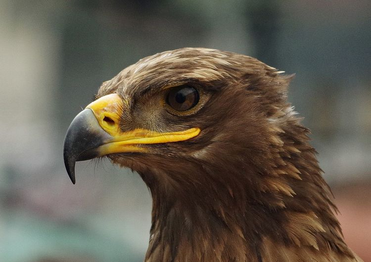 Close-up of brown eagle