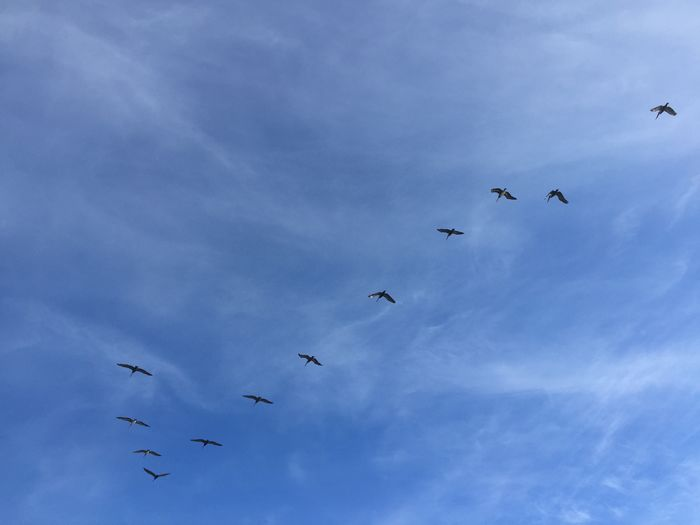 Route 1 Flying Sky Animal Wildlife Animals In The Wild Group Of Animals Bird Low Angle View Animal Vertebrate Cloud - Sky Animal Themes Large Group Of Animals Flock Of Birds Nature Mid-air Blue No People Spread Wings Day Beauty In Nature