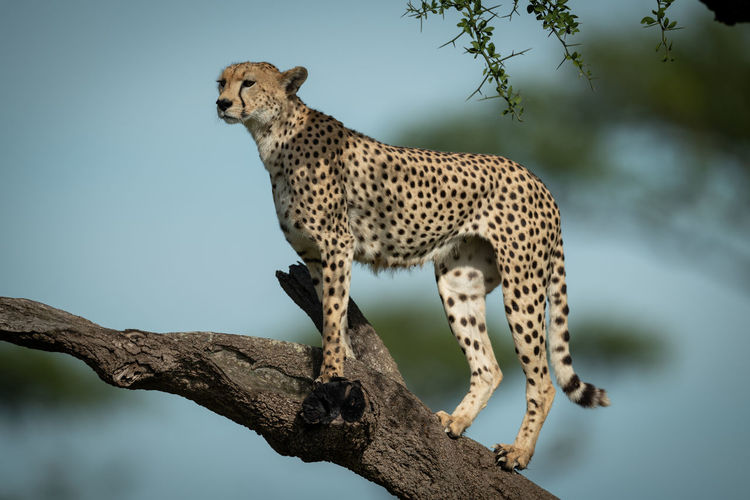 Cheetah standing on tree branch