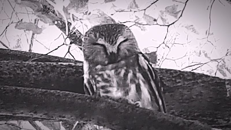Monochrome Photography Outdoors Beauty In Nature One Animal Zoology Owl Art Nocturnal