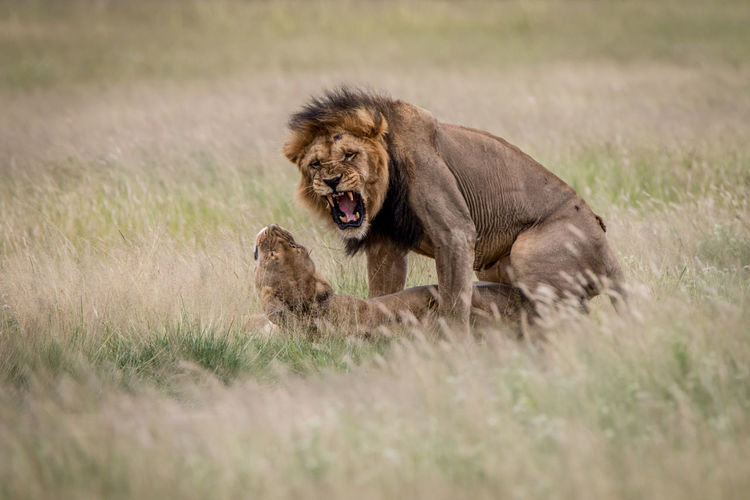 Lion and lioness mating on grassy field